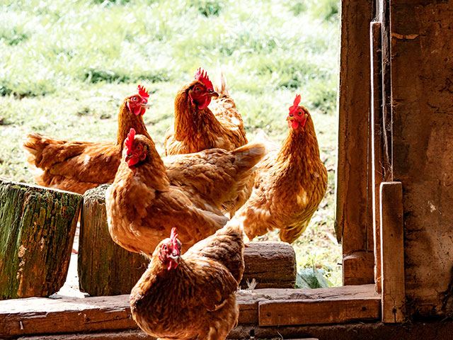 Chickens In A Barn