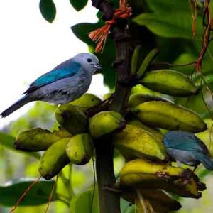 Blue-Grey Tanagers
