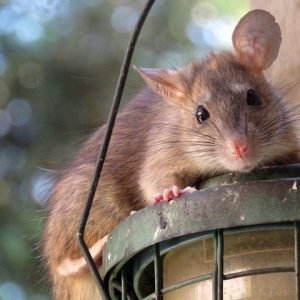 Rat On A Bird Feeder
