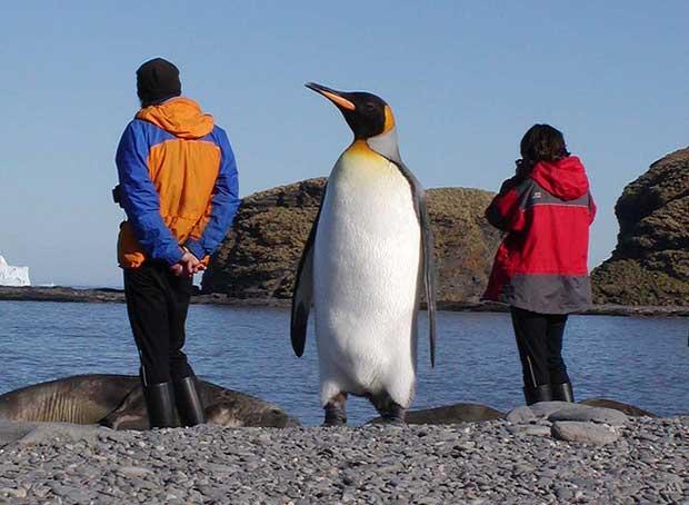 Giant Penguin