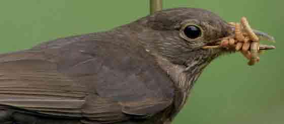 Blackbird Woith Mealworms