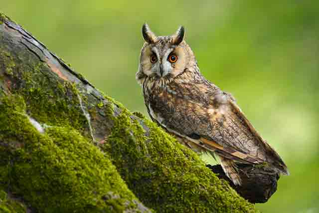 Long-Eared Owl