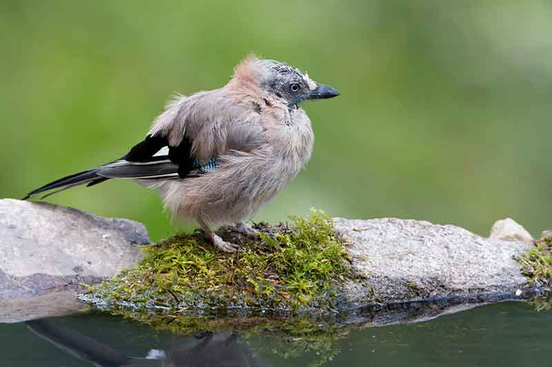 Jay In Moult