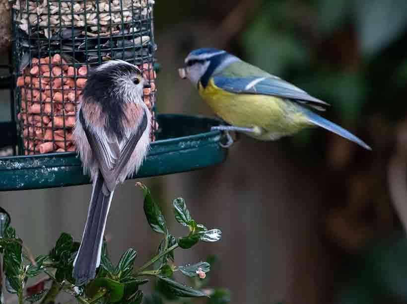 Long-Tailed Tit And Blue Tit At Feeder