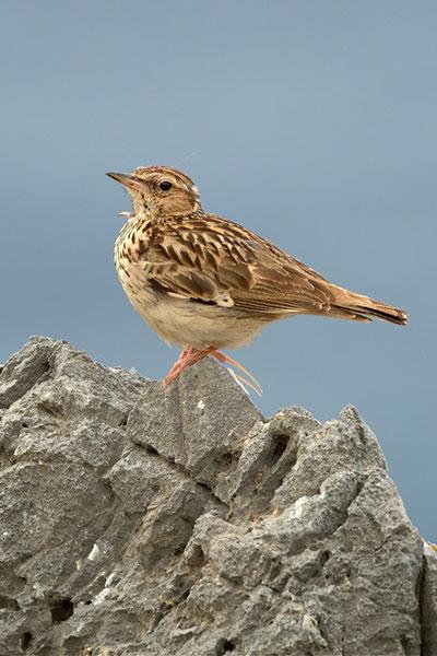 Woodlark