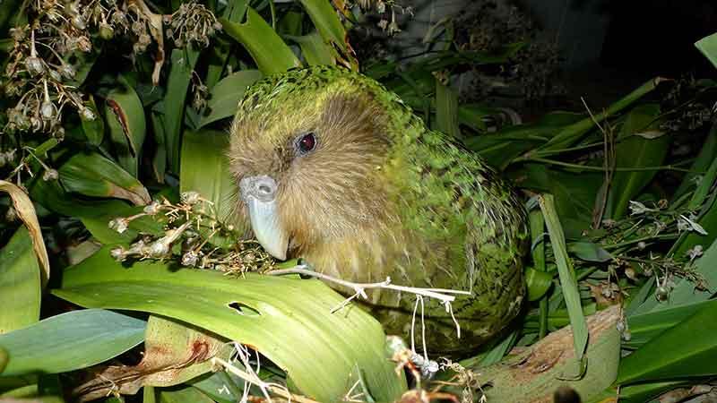 Kakapo
