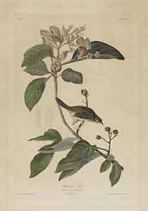 Bachman's Finch Print