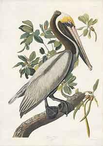 Brown Pelican Print