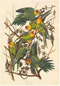 Carolina Parrots Print