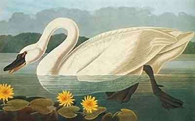 Common American Swan Print