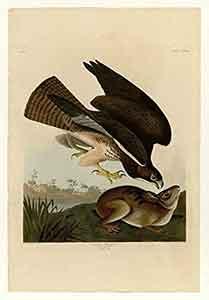 Common Buzzard Print