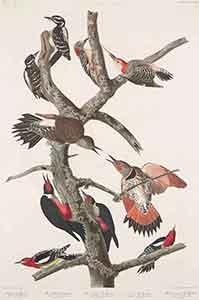 Hairy Woodpecker Print