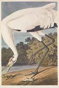 Hooping Crane Print