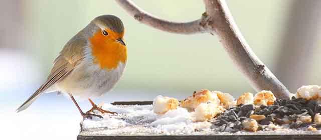 Robin At Bird Table
