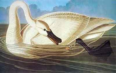 Trumpeter Swan Print