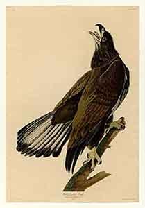 White-Headed Eagle Print