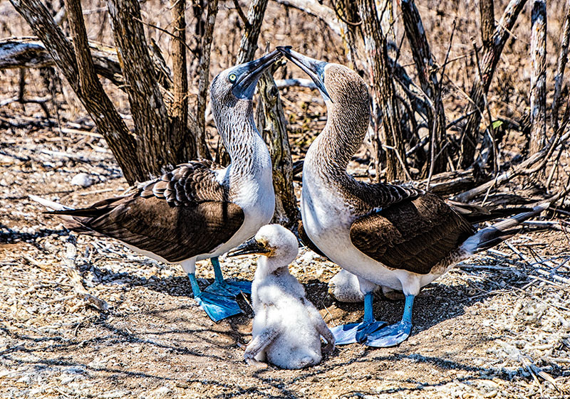 Blue-Footed Boobies With Chicks