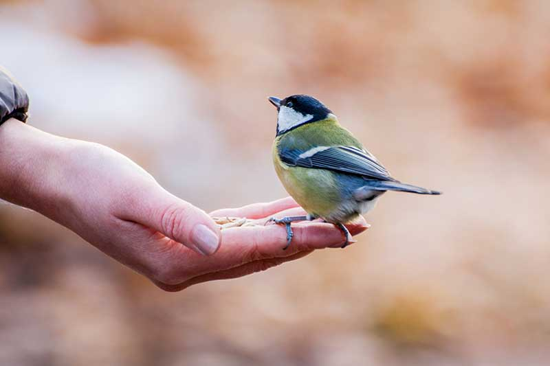 Great Tit On A Hand