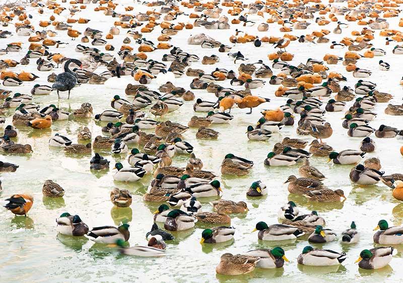 Mixed Flock Of Ducks
