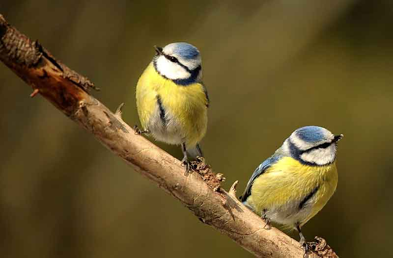 Two Blue Tits