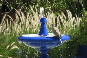 Collared Dove On Bird Bath