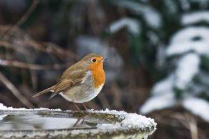 Robin On A Bird Bath