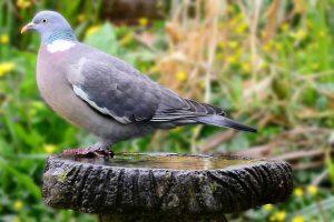Wood Pigeon On A Bird Bath