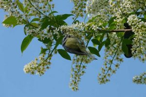 Blue Tit In Cherry Tree