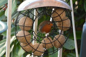 Robin Eating Fat Balls