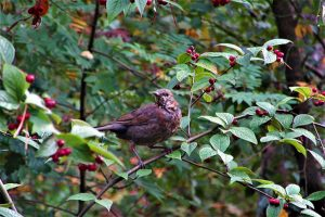 Blackbird In A Shrub