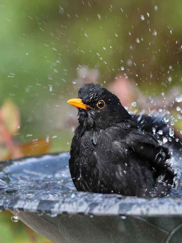 Blackbird In A Bird Bath