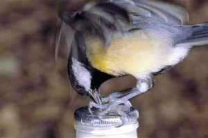 Tit Pecking At Milk Bottle