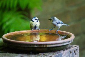 Blue Tits Bird Bath