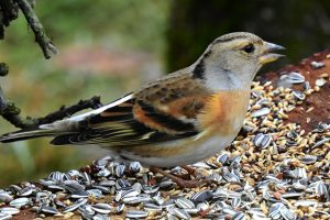 Brambling Eating Bird Seed