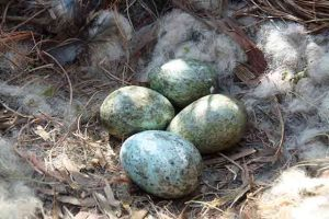 Carrion Crow Eggs