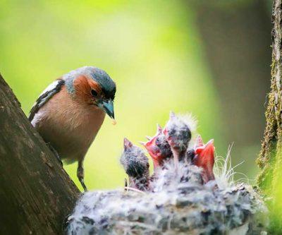 Chaffinch Feeding Chicks