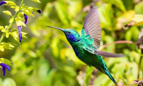 Costa Rica Hummingbird