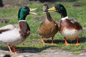 Ducks Quacking