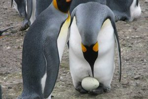Emperor Penguins With Egg