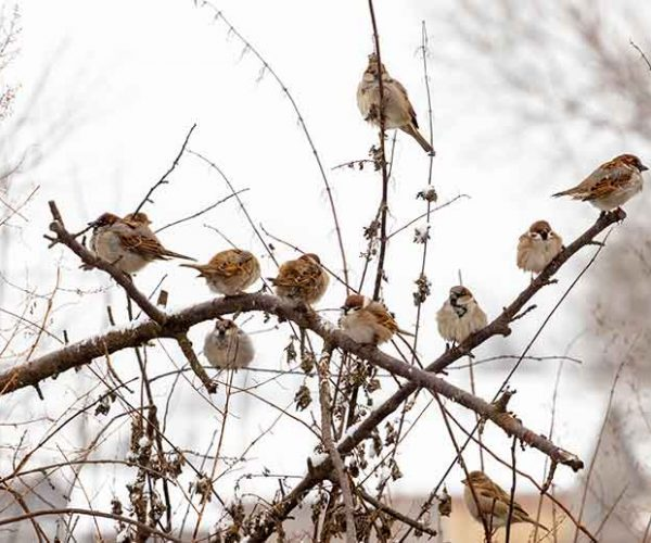 Flock Of House Sparrows