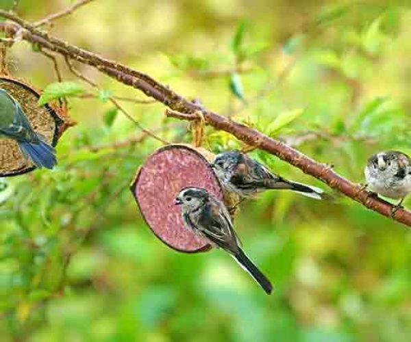 Garden Birds At A Bird Feeder