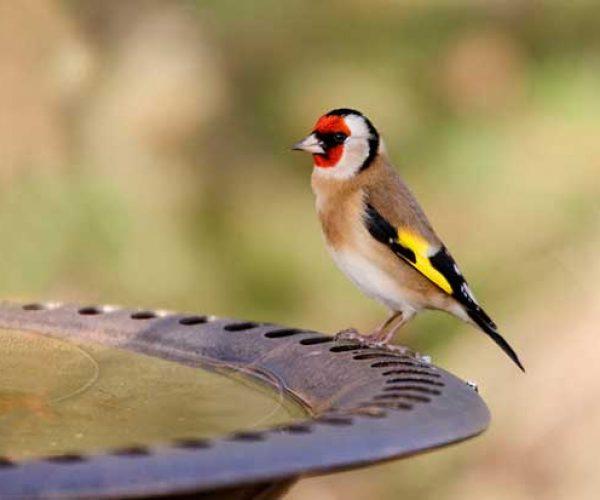 Goldfinch On Bird Bath