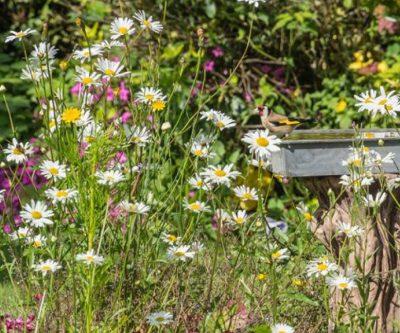 Goldfinch In Flowers