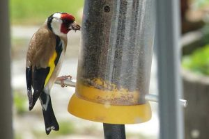 Goldfinch Eating Niger Seed