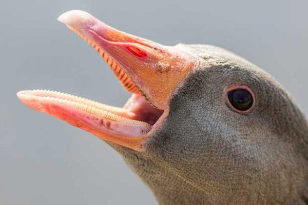 Goose Tomia