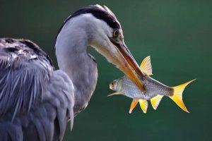 Grey Heron With Fish
