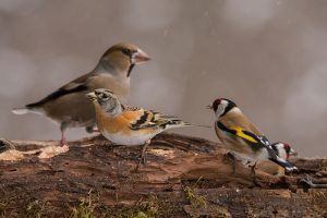 Hawfinch, Brambling, And Goldfinch