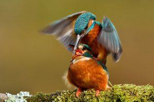 Kingfishers Mating
