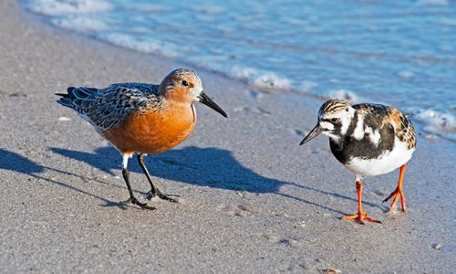 Knot And Turnstone