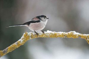 Long-Tailed Tit In The Snow